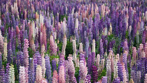Lupiner ved Lake Tekapo - New Zealand - KILROY