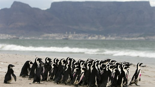 Pingviner ved Boulders Beach i Cape Town - KILROY